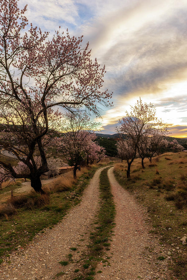 Morella Photograph - Path Between Almond Trees In A Beautiful Sunrise by Vicen Photography