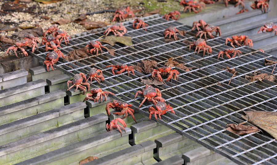 Red Crab Migration on Christmas Island Photograph by James D. Morgan