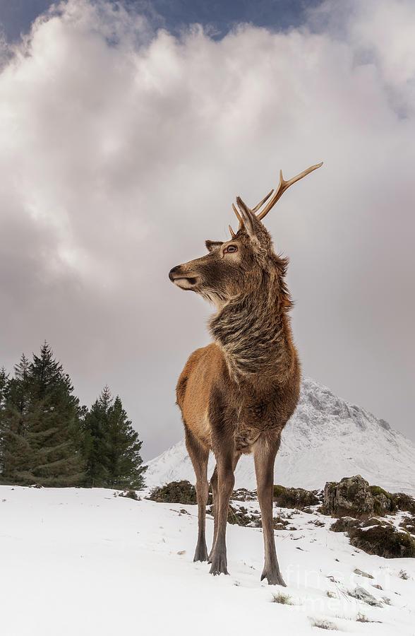 Red Deer Portrait Photograph