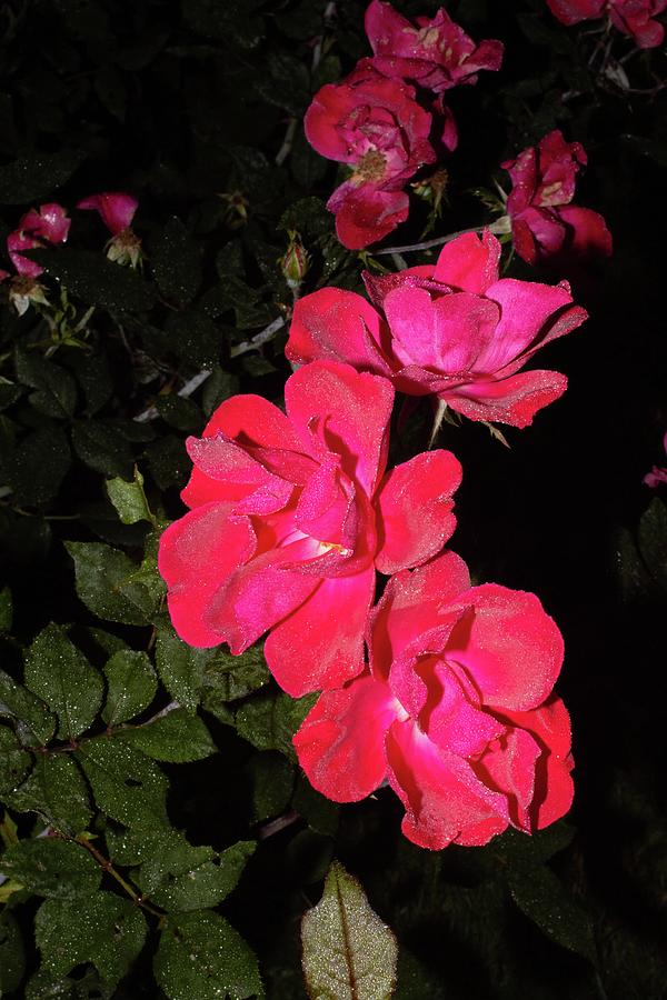 2 Red Roses 2 1092020 1185.jpg Photograph by David Frederick