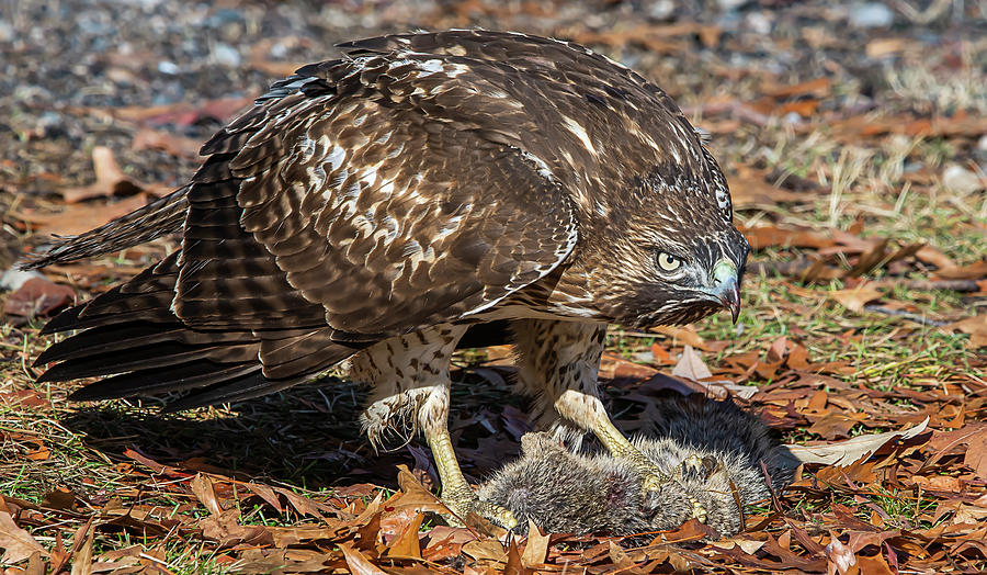 Red Tailed Hawk by Rick Mosher