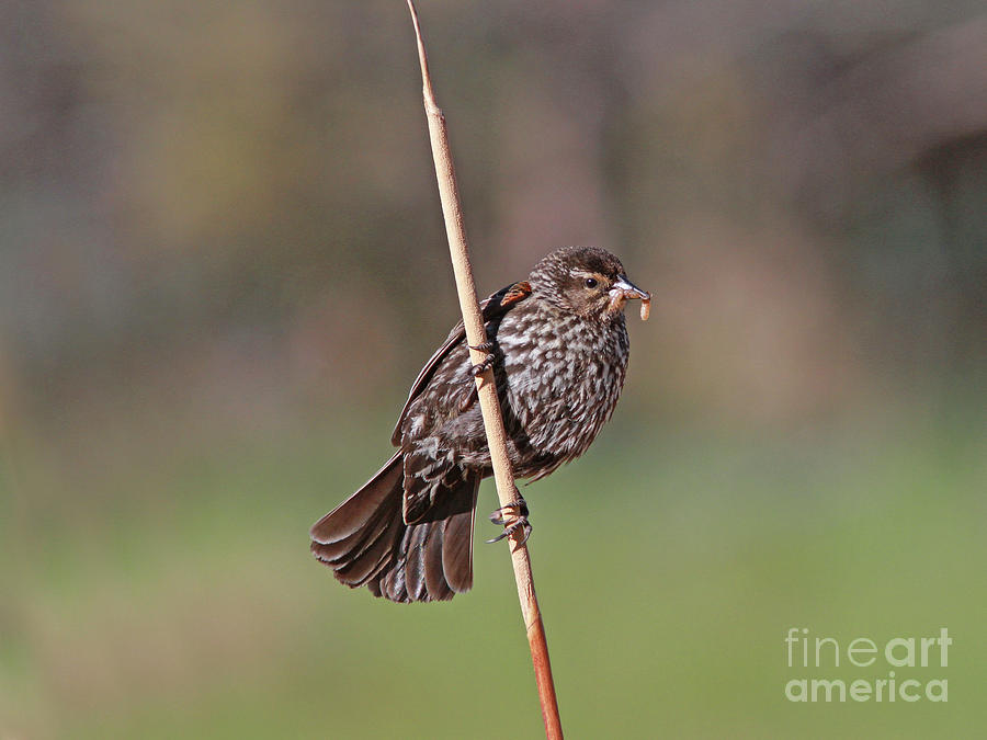Red-winged Blackbird Photograph - Red-winged Blackbird by Gary Wing