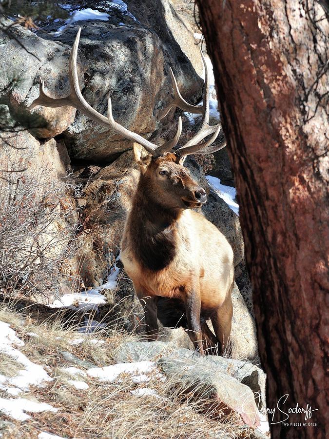 Rmnp Bull Elk Ds Photograph