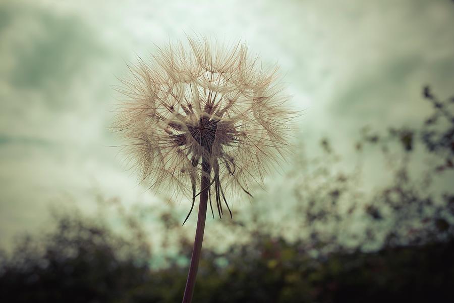 Tragopogon, Goatsbeard Or Salsify Is Like A Huge Dandelion Flower. Photograph