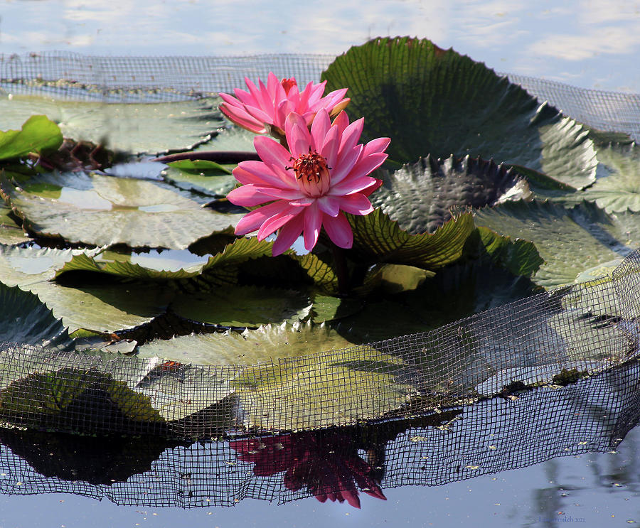 Flowers Photograph - Water Lilies in Sunlight by John Lautermilch