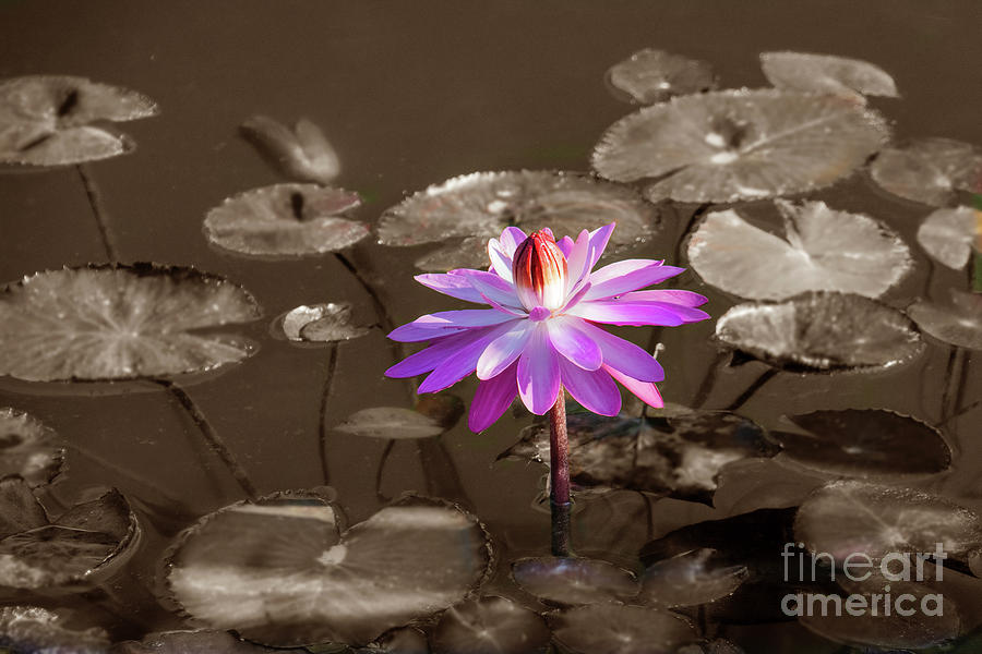 Water Lily by Randy J Heath