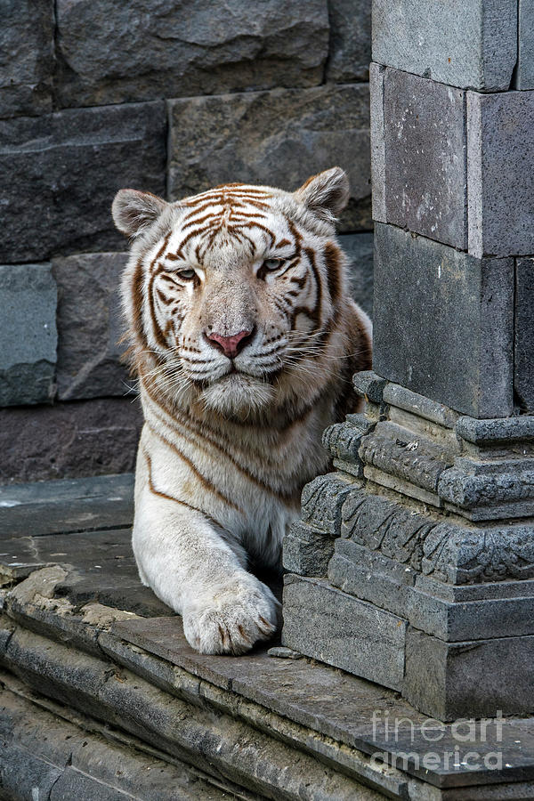 White Tiger in Temple by Arterra Picture Library