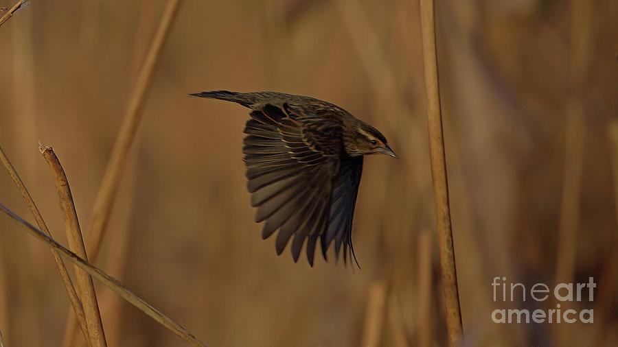 Wildlife_redwinged Blackbird_female_circle B_imgl3408 -1 Photograph