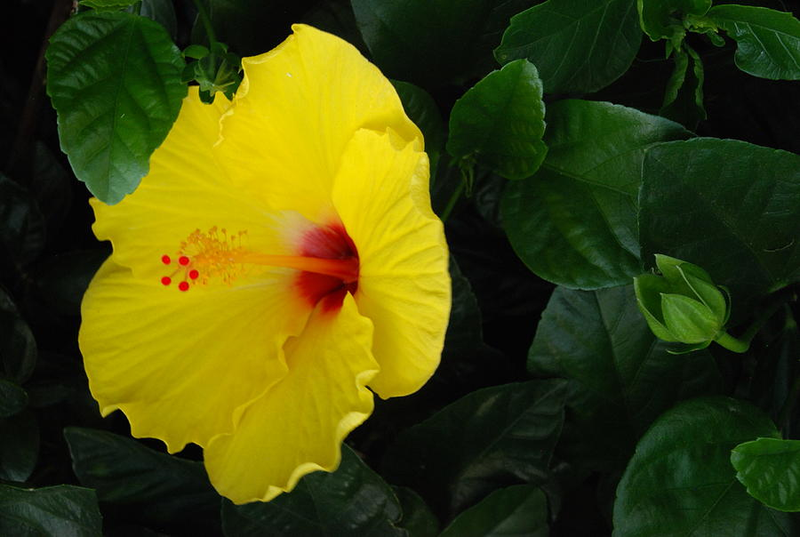 Yellow Hibiscus Photograph