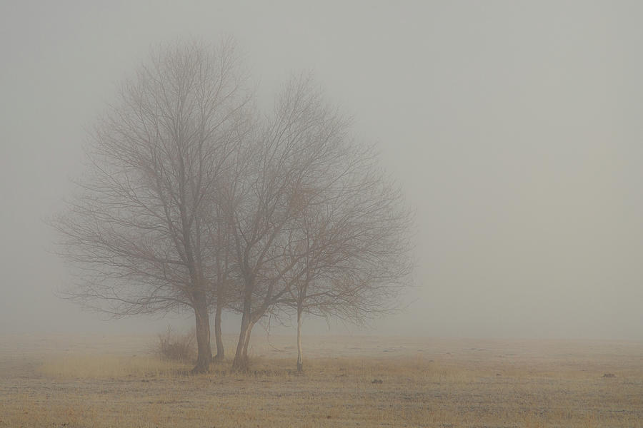 Young Oaks In Morning Fog Photograph