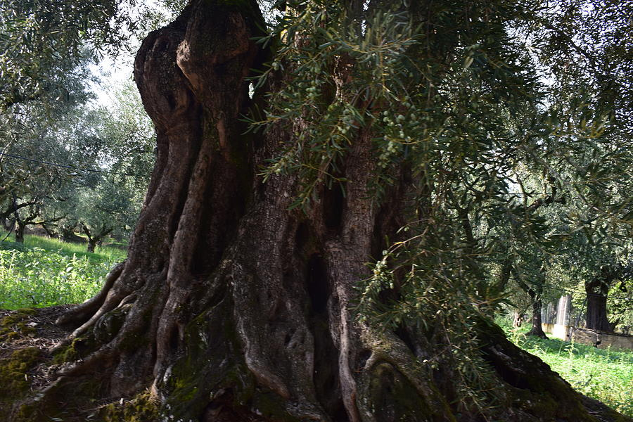 Olive Trees Greece Photograph