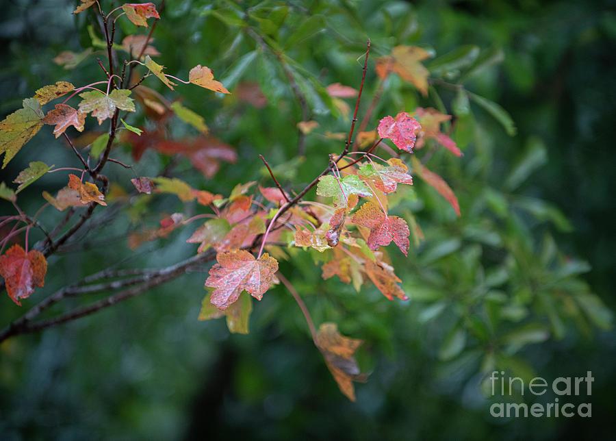 Vibrant Autumn Colors - Maple Tree Photograph