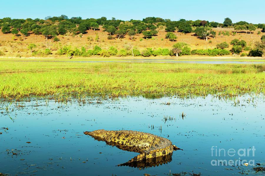 Alligator Photograph
