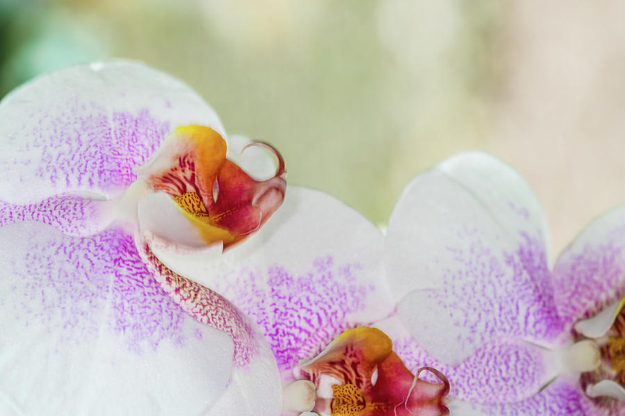 Flower Photograph - Beautiful pink and white spotted Orchid closeup by David Ridley