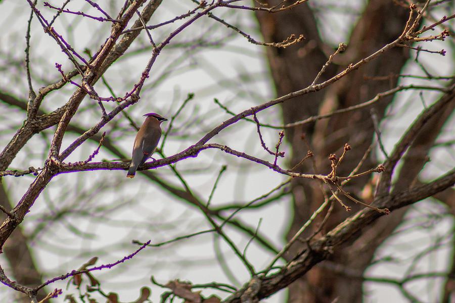 Cedar Waxwing In Tree by Michael Munster