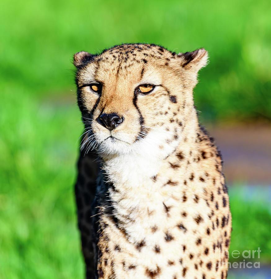 Cheetah by Colin Rayner