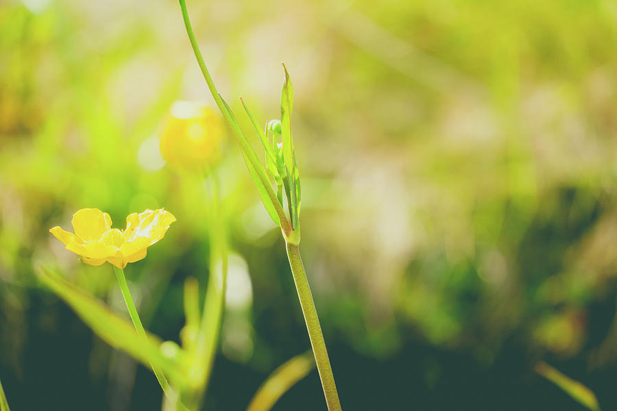 Close Up Of A Common Buttercup Flower Photograph