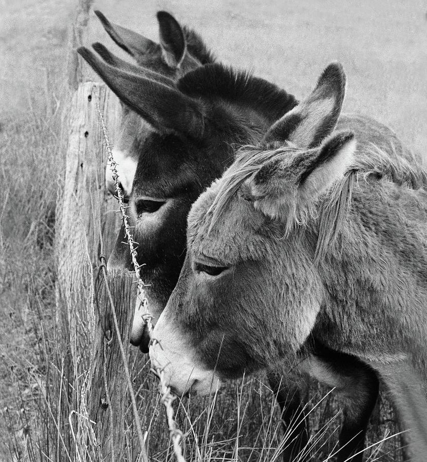 Donkey Photograph - 3 Donkeys by Siene Browne