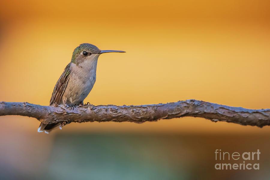 Hummingbird Photograph - Hummingbird by Gaby Swanson