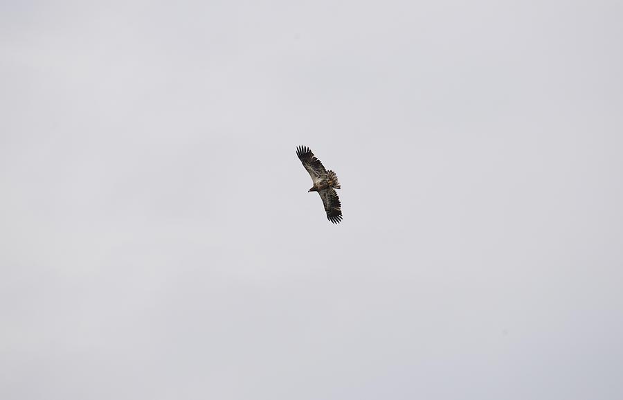 Immature Eagle Photograph
