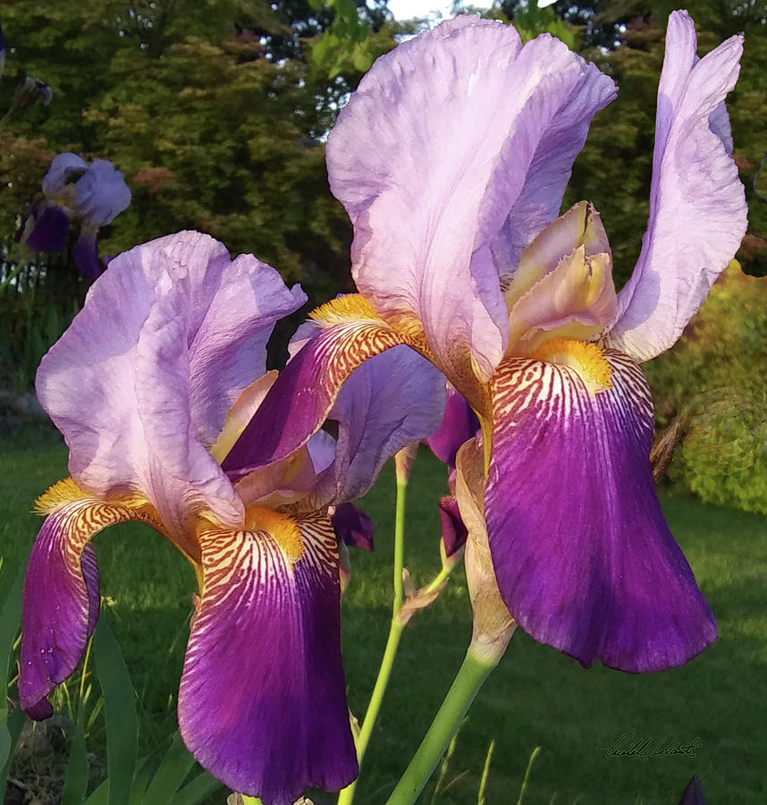 3 Irises at Sunset by Michele Avanti