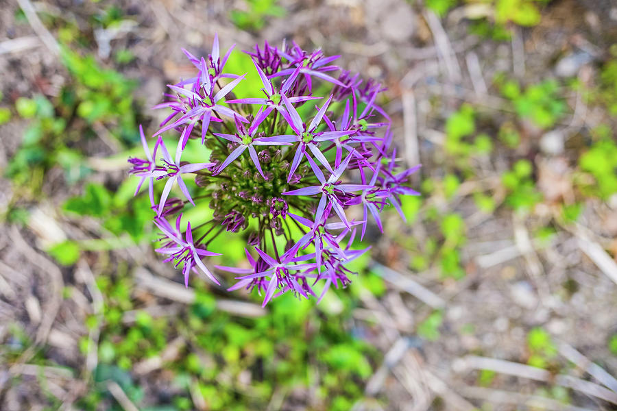 Marco Close Up Of A Purple Allium Photograph