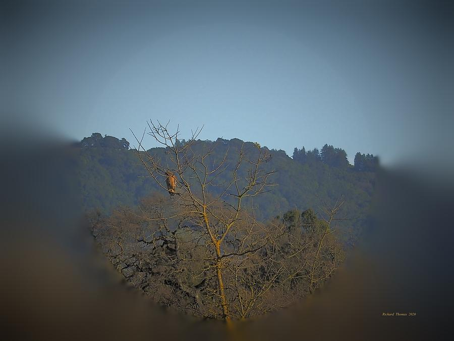 Red-Shouldered Hawk by Richard Thomas