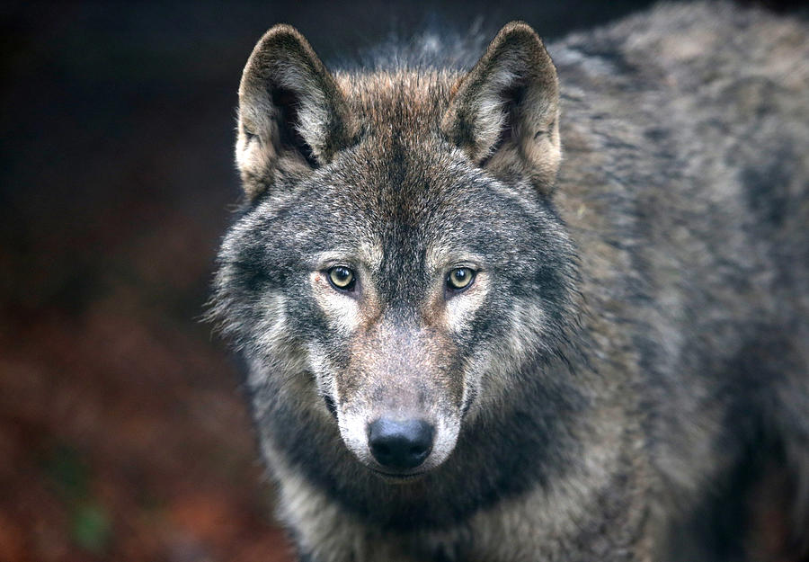 Wild Place Project Welcomes A Pack Of Wolves Photograph by Matt Cardy
