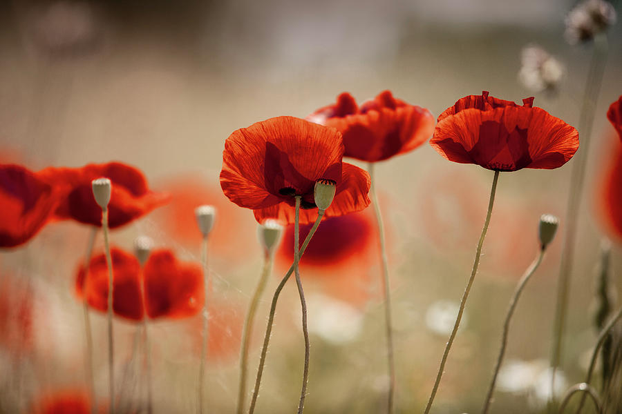 Summer Poppy Meadow Photograph