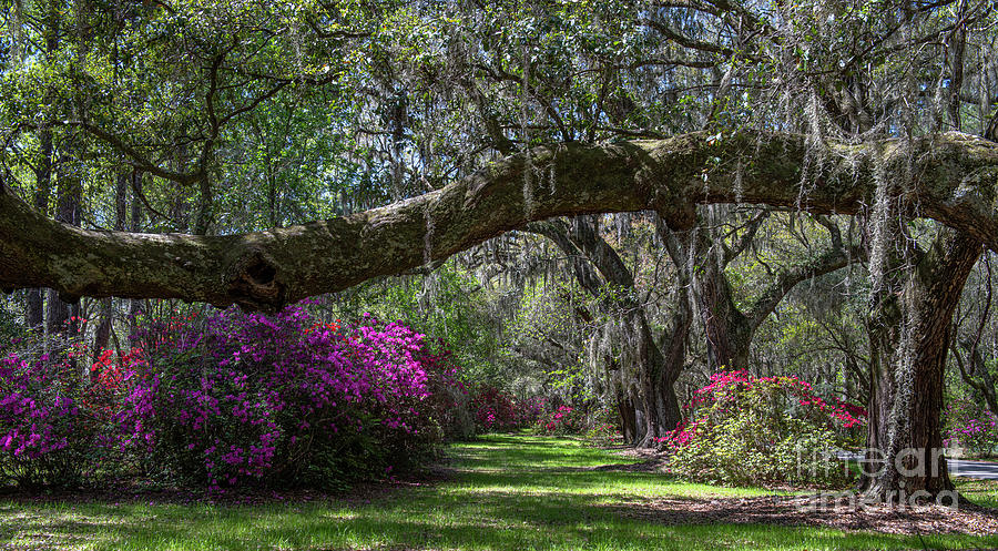 Azaleas Blooming Under Mightly Live Oak Tree Photograph