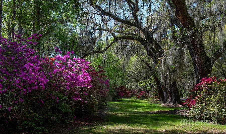 Spring Azaleas Blooming - Magnolia Plantation Photograph