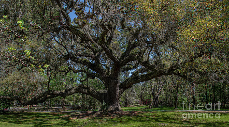 Old Grand Oak On The Grounds Of Magnolia Plantation Photograph