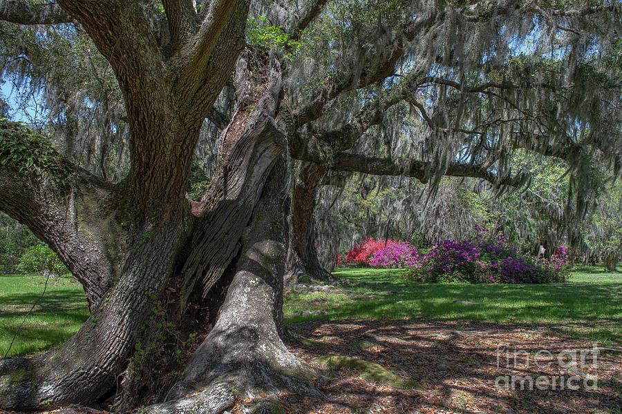Twisted Oaks - Magnolia Plantation Photograph