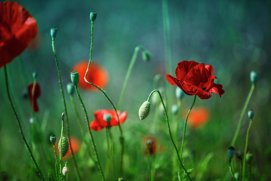 Summer Poppy Meadow Photograph