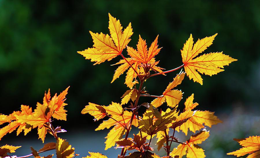 Back Lit Leaves Photograph