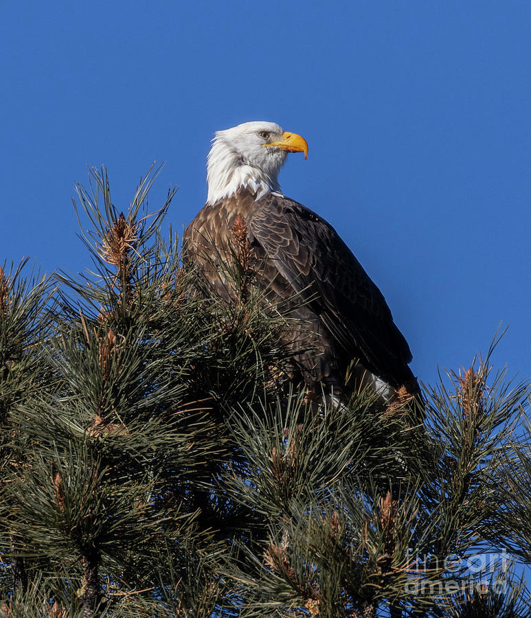 Bald Eagle In Eleven Mile Canyon Photograph