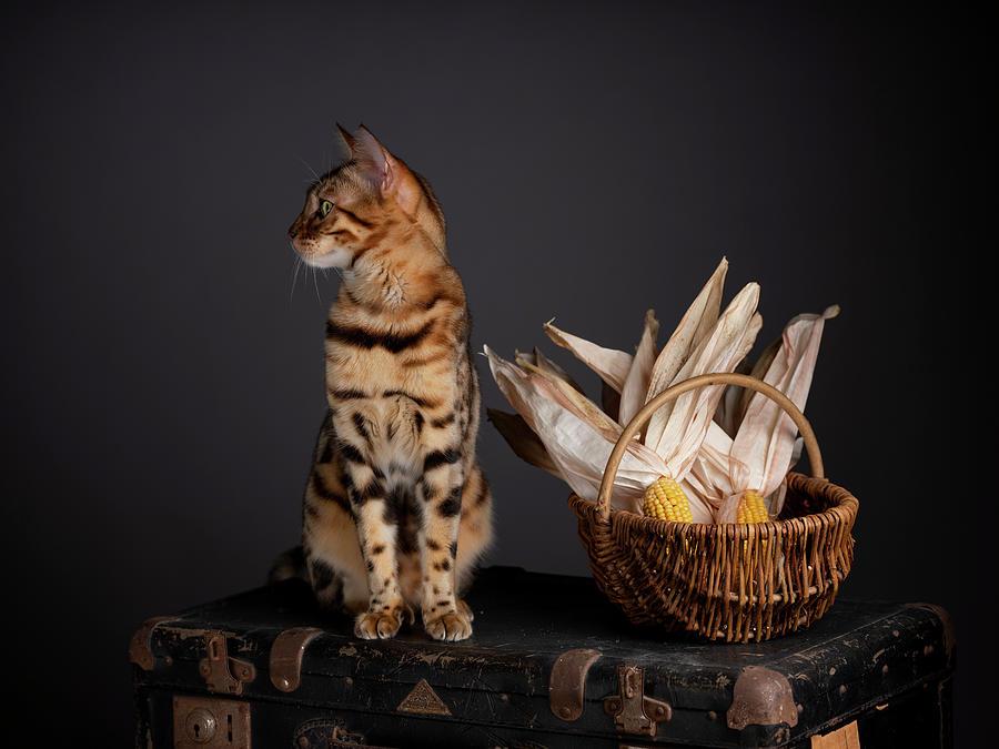 Bengal Cat Portrait Photograph