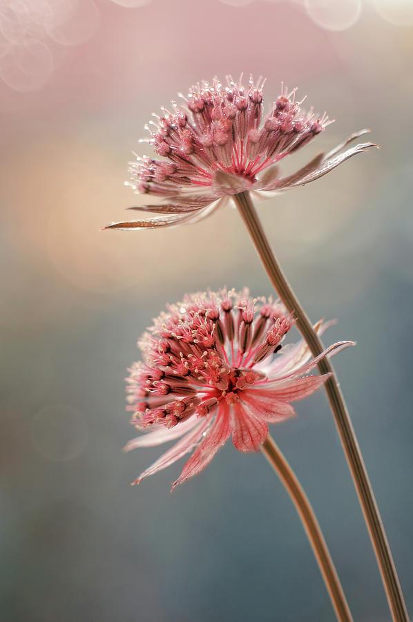 Flowers Astrantia Major Photograph