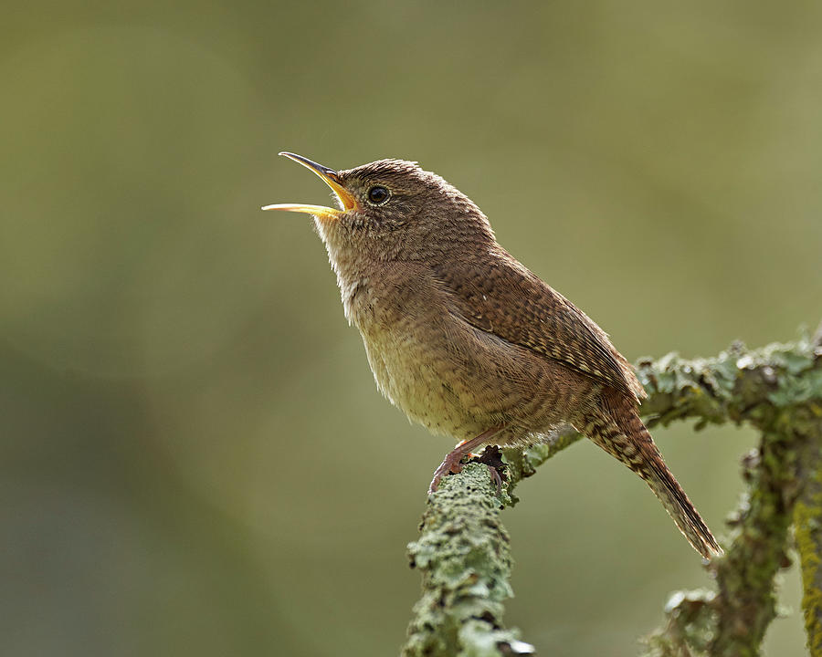 House Wren, Sacramento County California Photograph