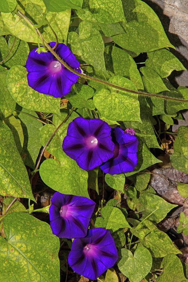 4 Purple Morning Glories 2 8182020 0787 Photograph by David Frederick