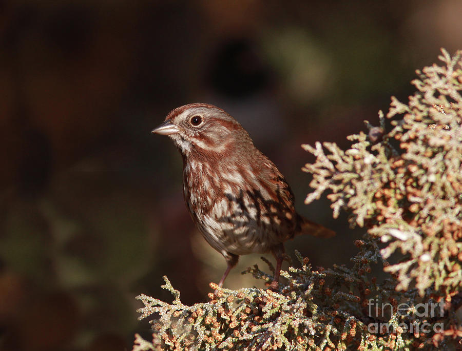 Song Sparrow Photograph - Song Sparrow by Gary Wing