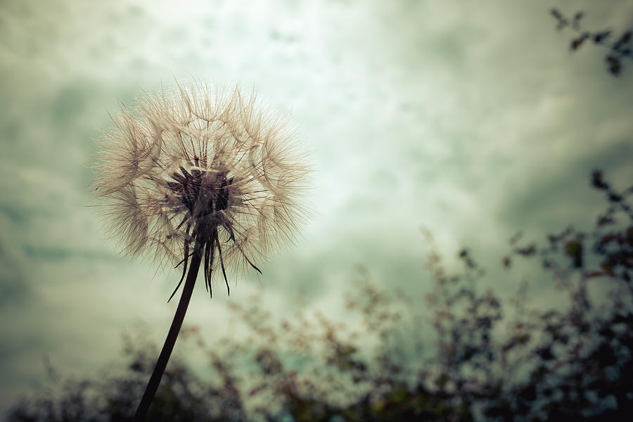 Flower Photograph - Tragopogon, goatsbeard or salsify is like a huge dandelion flower. by David Ridley