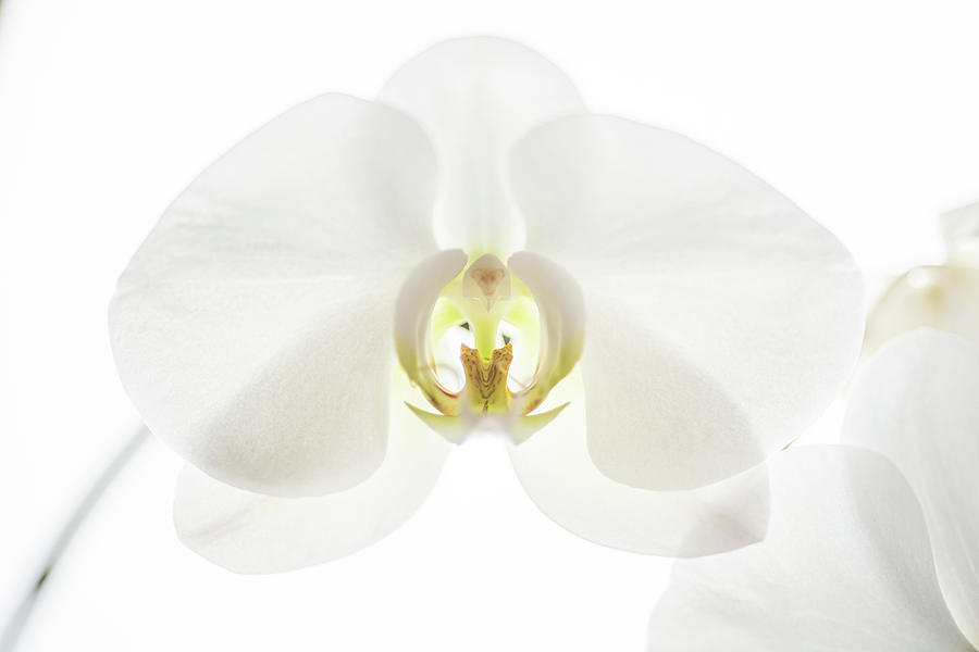 White Moth Orchid Photograph