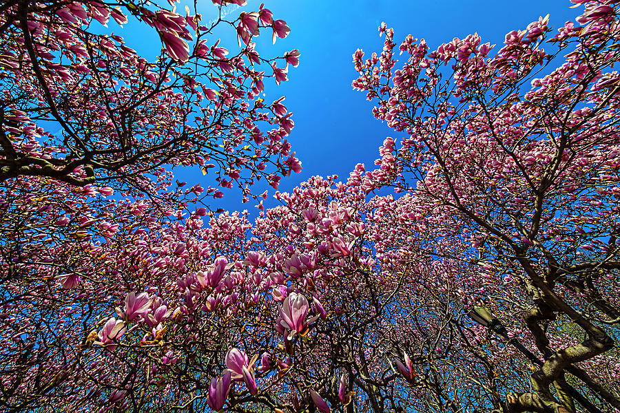 Magnolia Trees Photograph