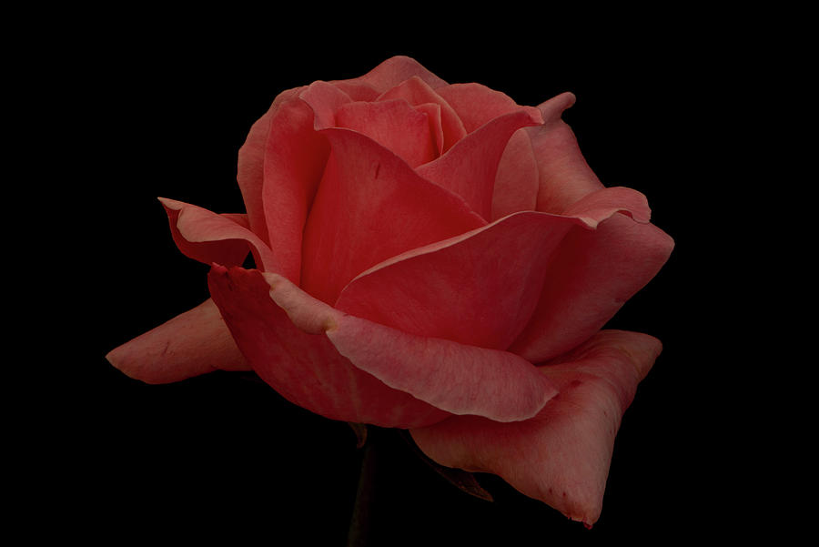 A Pretty Red Rose On A Black Background Photograph