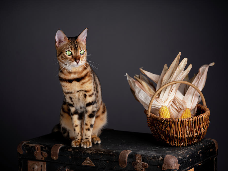 Bengal Photograph - Bengal Cat Portrait by Nailia Schwarz