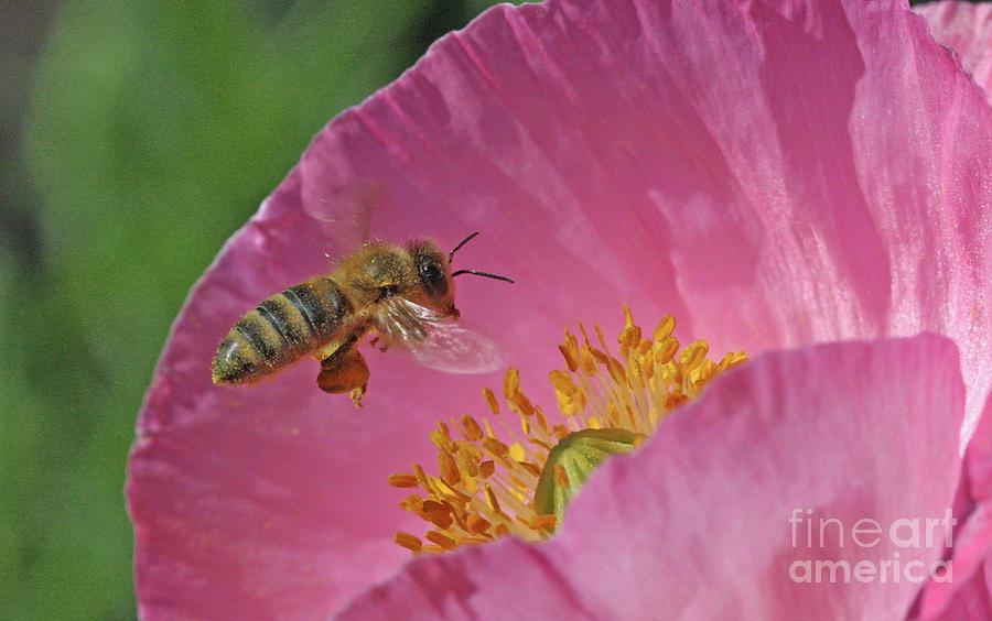 Honey Bee Photograph - Honey Bee by Gary Wing