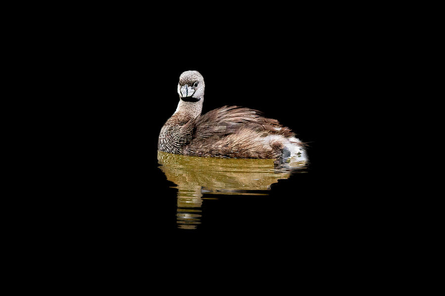 Pied-billed Grebe by Perla Copernik
