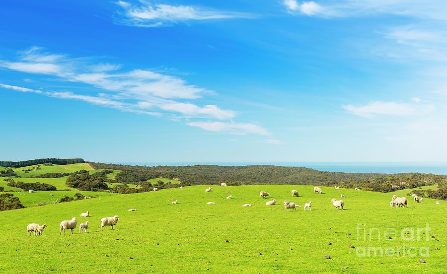Sheep Photograph