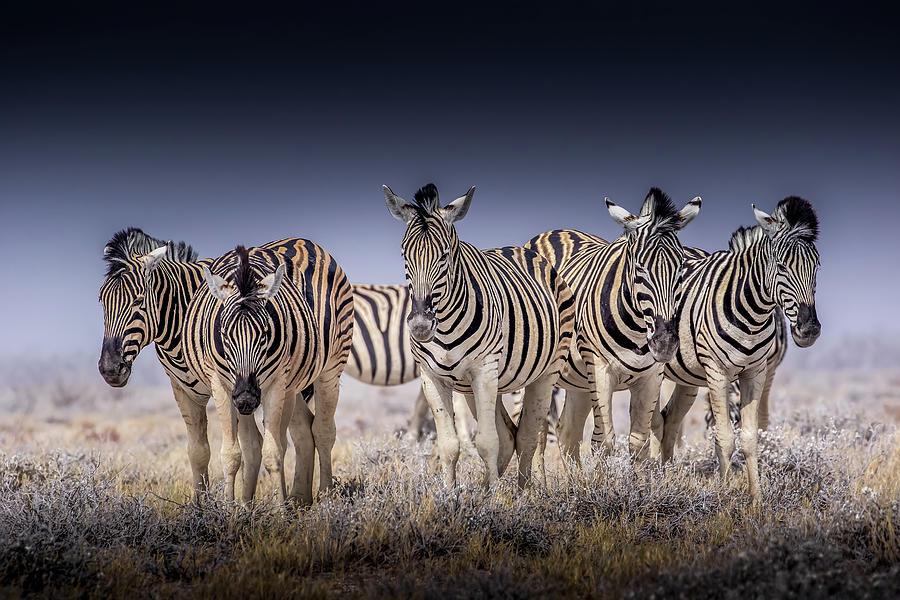 Zebra Photograph - 5 Zebra by MaryJane Sesto
